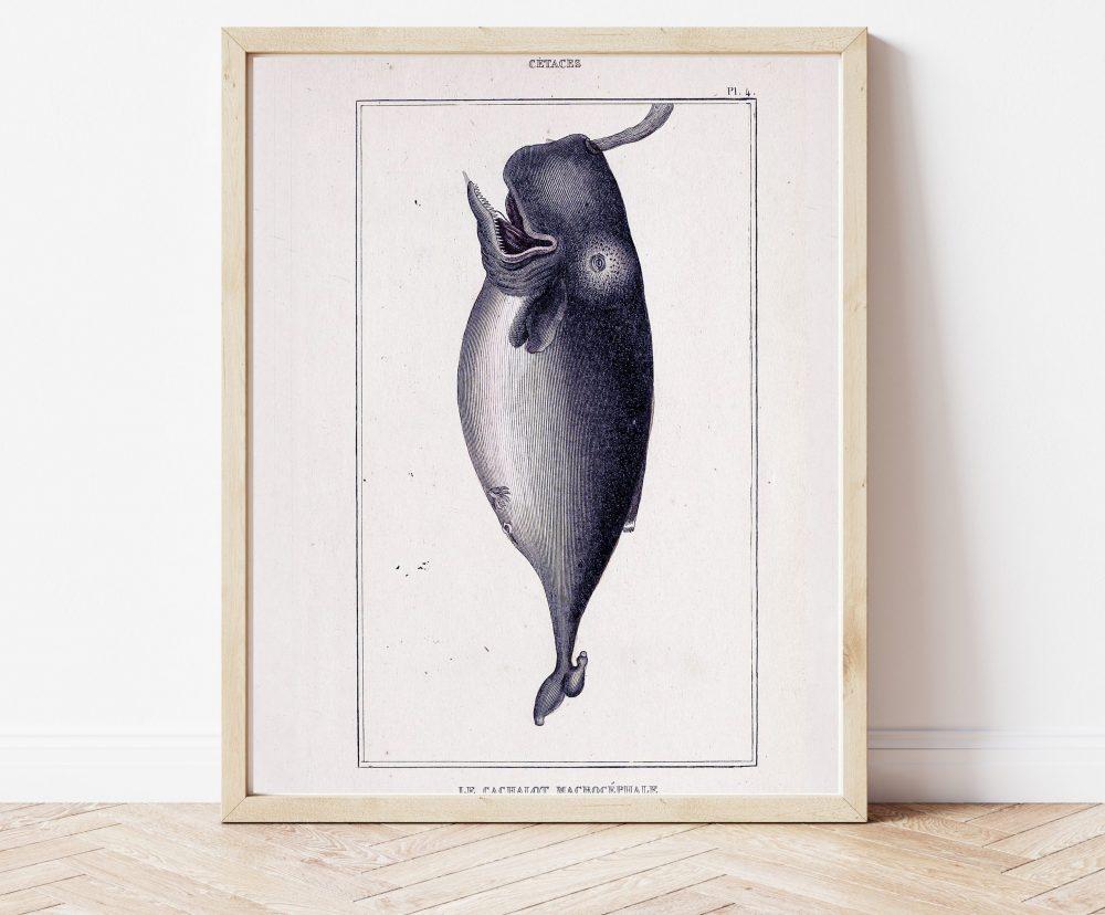 Natural History Cetaceans  #0038