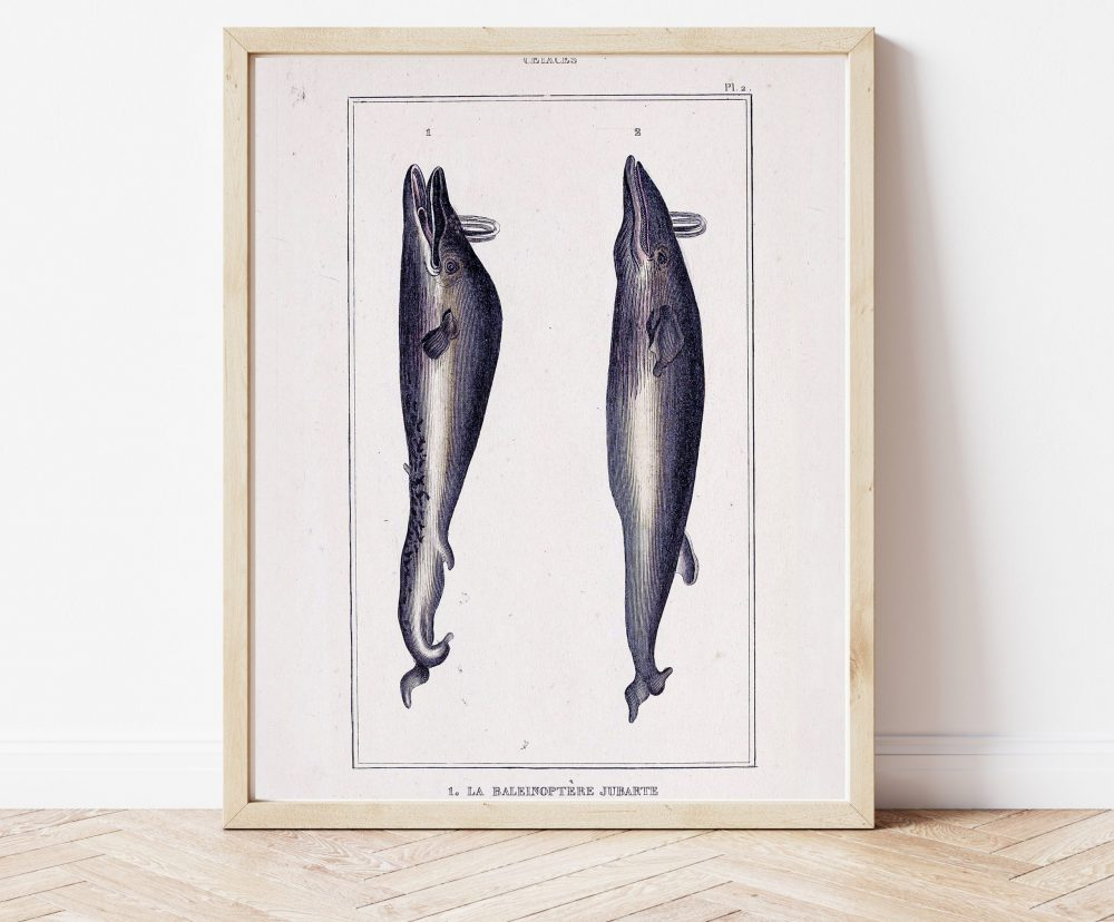 Natural History Cetaceans #0041