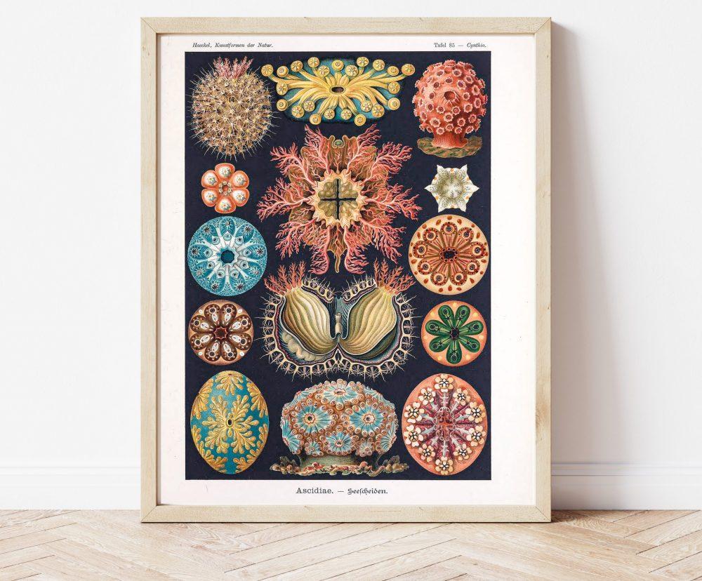 Ernst Haeckel Sea Anemones #0022