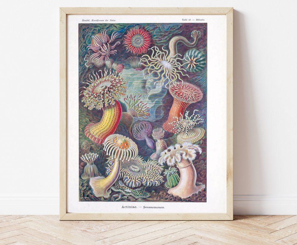 Ernst Haeckel Anemones #0024