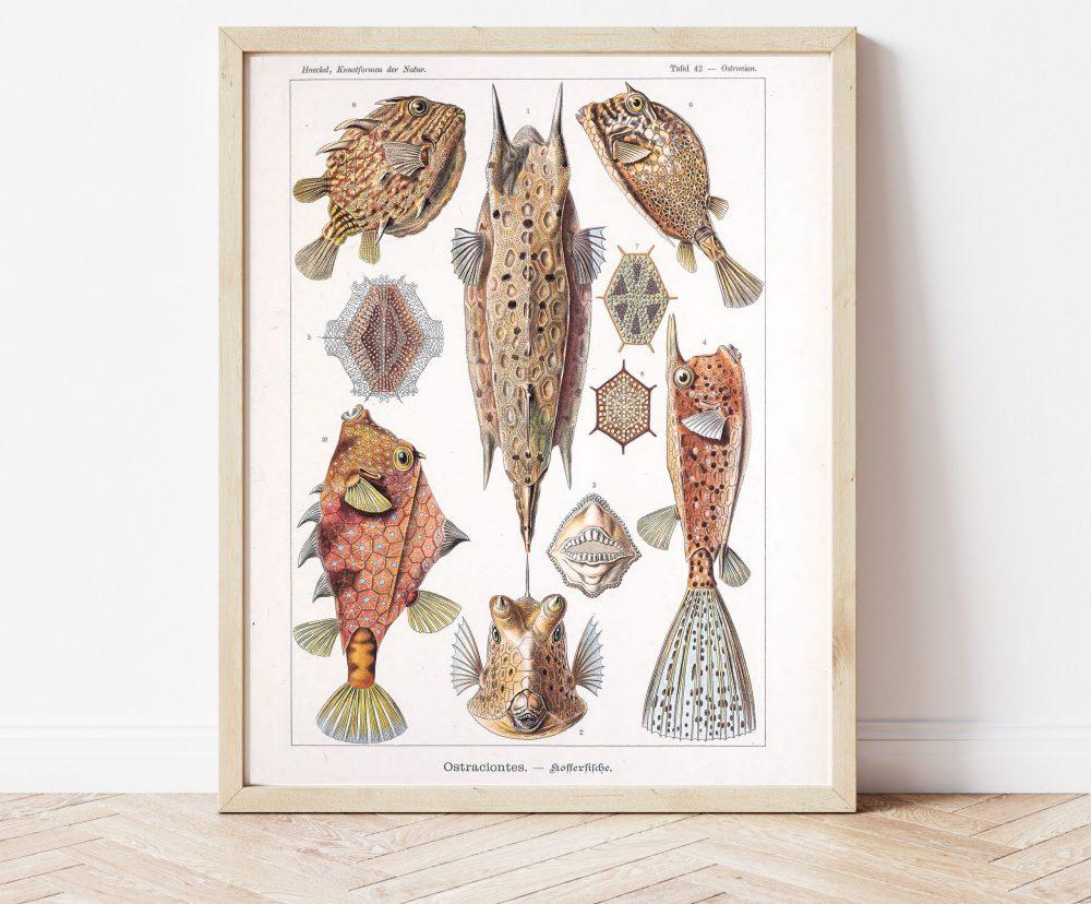 Ernst Haeckel Box Fish #0026