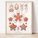 Ernst Haeckel Starfish Biology #0027
