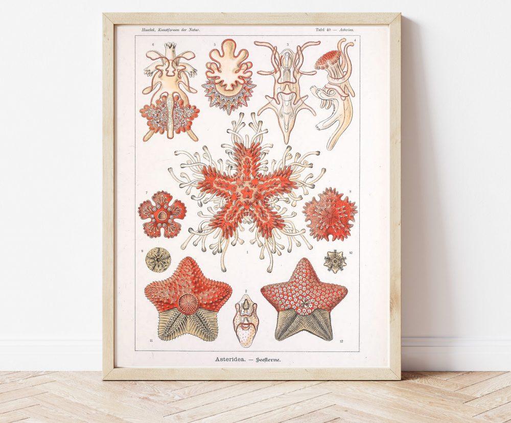 Ernst Haeckel Starfish Biology #0027